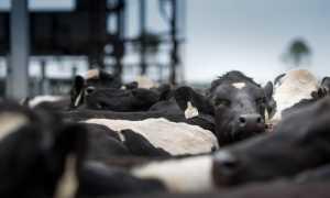 Сколько в России коров сейчас и было в прошлом