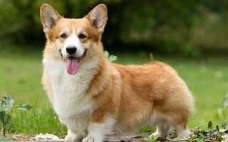 Сколько стоит щенок Корги в России: в питомнике и с рук